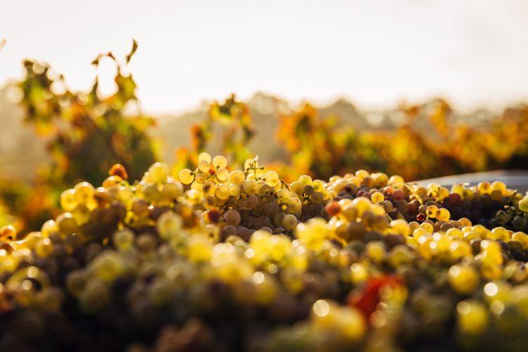 10 greșeli de evitat în obținerea vinului de casă din must de la Jidvei